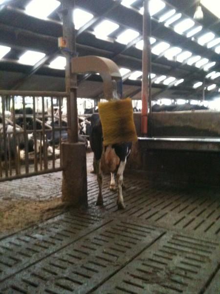 Eine Bürste für die Kühe...